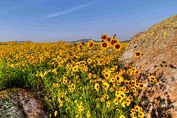 Field_of_coreopsis_(8472085780)